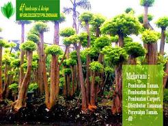 info tanaman landascape