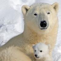 osa polar con cría