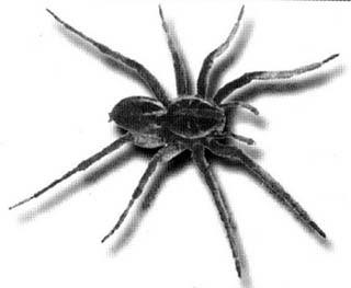 Significado dos Sonhos com Aranha Preta