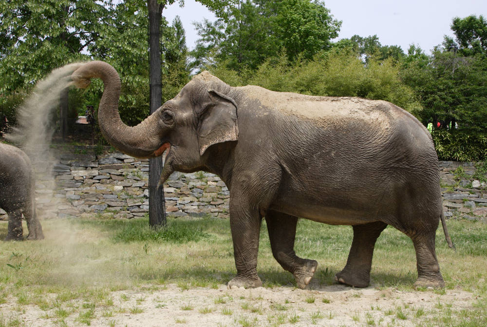 Asian Elephant | The L...