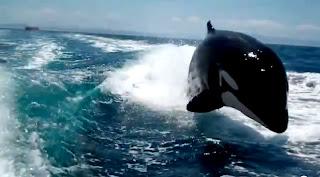 Des Orques suivent un bateau