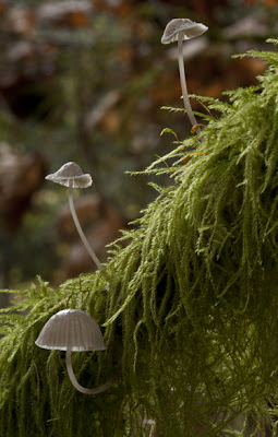 Tiny Mycena mushrooms growing on mossy tree limbs