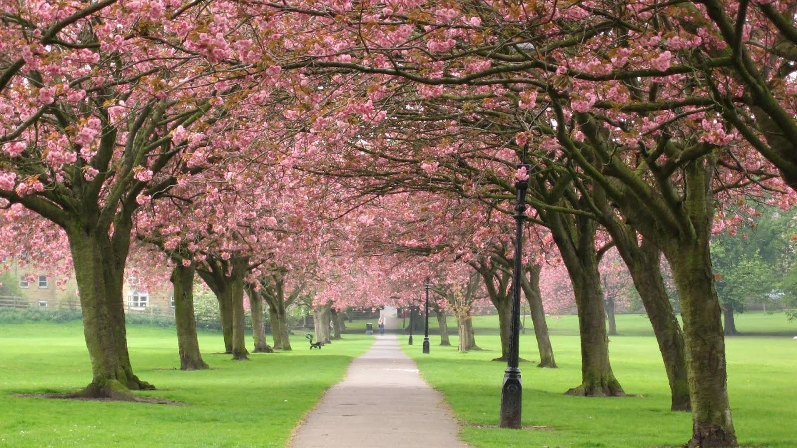 HD Wallpapers Desktop Sakura Tree