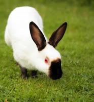 Jenis-jenis kelinci, Himalayan