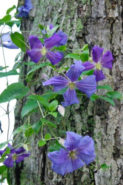 Clematis 'Perle d'Azur' has been blooming for about a month already in our zone 5..