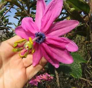 Passiflora pilosicorona