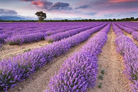 Lavender Business