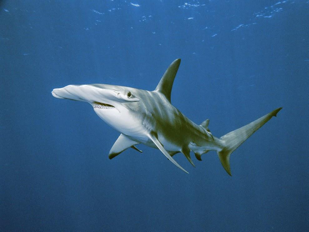 Vive in acque calde lo squalo martello