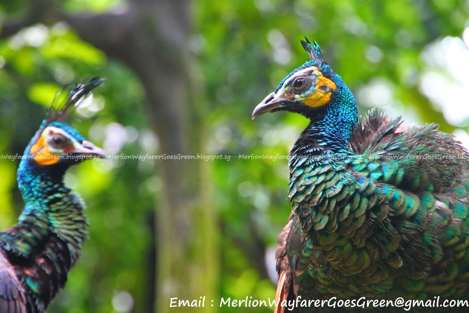 Peacock Invites is beautiful invitation ideas