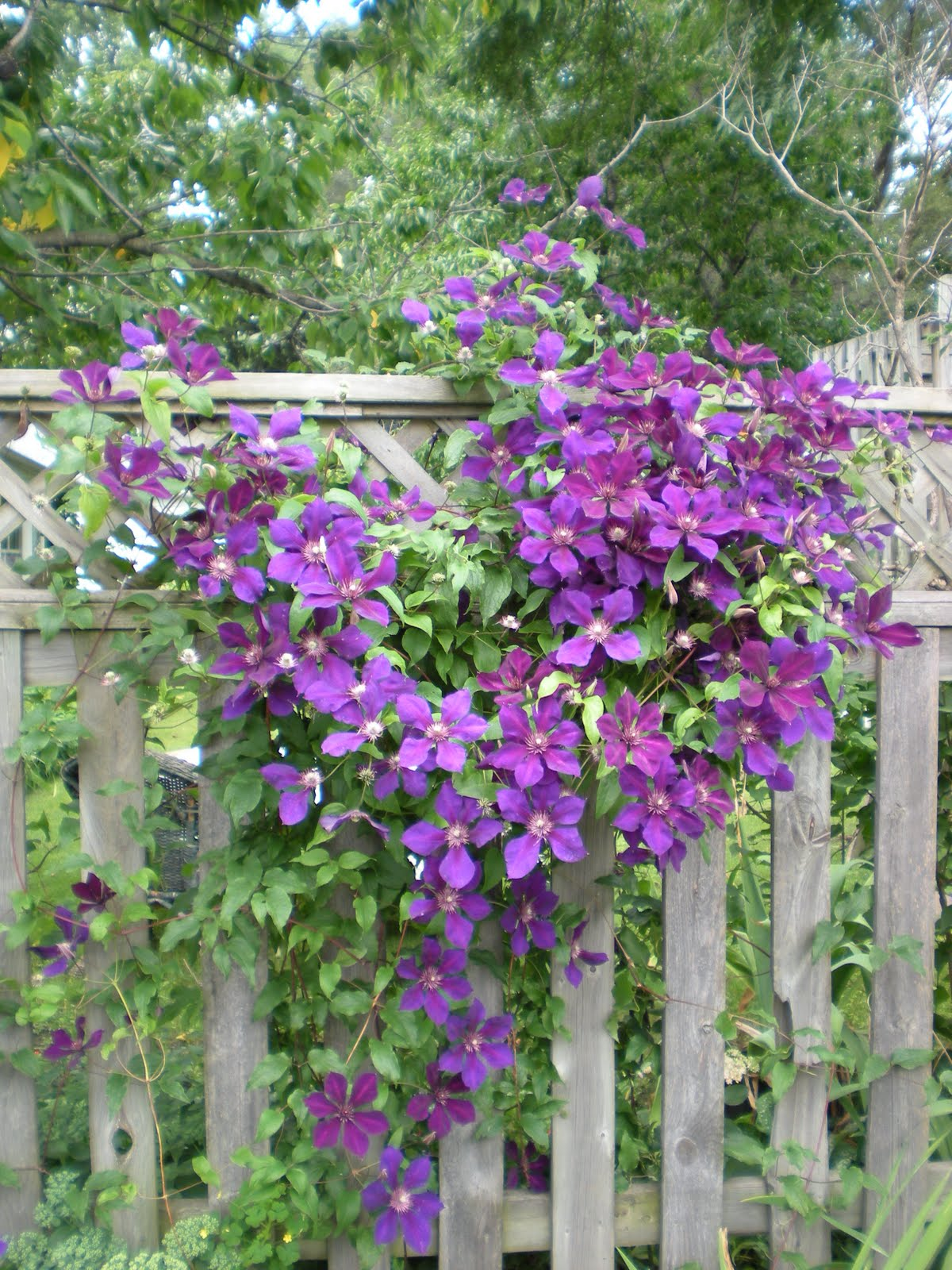 mad dogs and englishmen let 39 s talk clematis. Black Bedroom Furniture Sets. Home Design Ideas