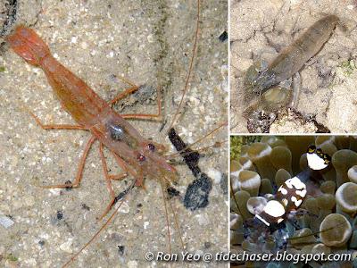 Caridean Shrimps (Infraorder Caridea)