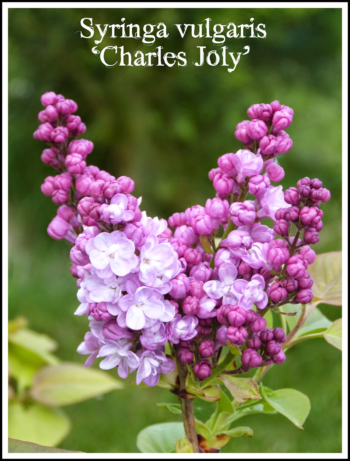 fleurs qui ressemble au lilas