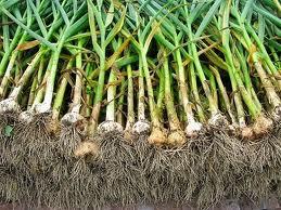 Budidaya, bawang, putih, cara, menanam,