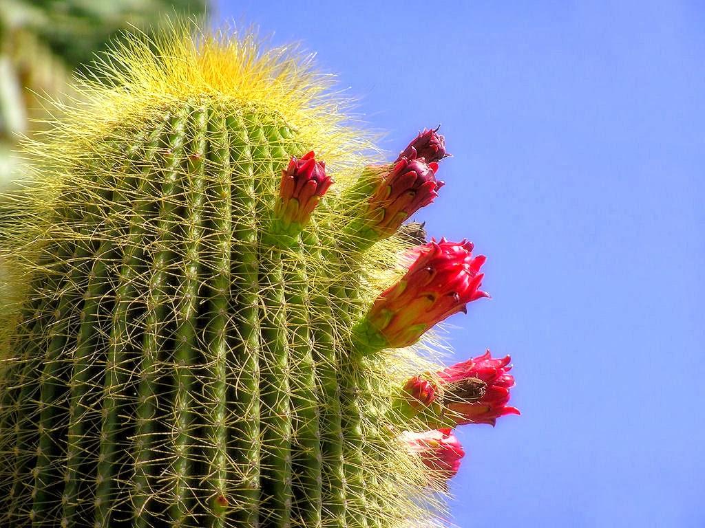 Cactus flower wallpaper computer free beautiful desktop for Cactus imagenes