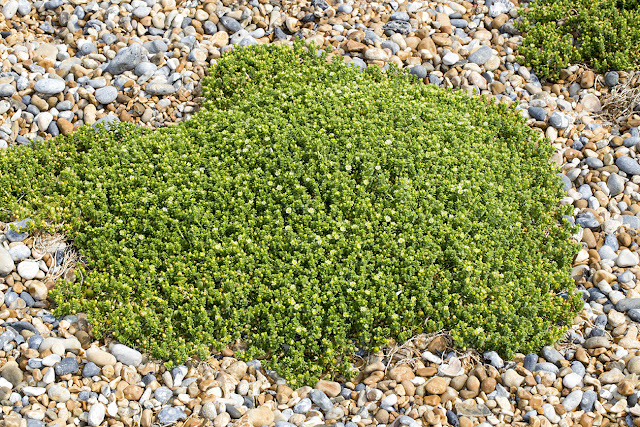 Sea Sandwort, Honkenya peploides.   Sandwich Bay, 4 July 2015.