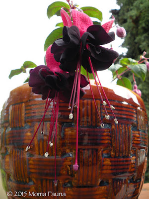 "Fuchsia, ""Blackie"" (Fuchsia, spp.)"