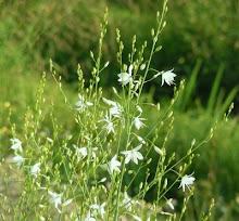 Anthericum formosum
