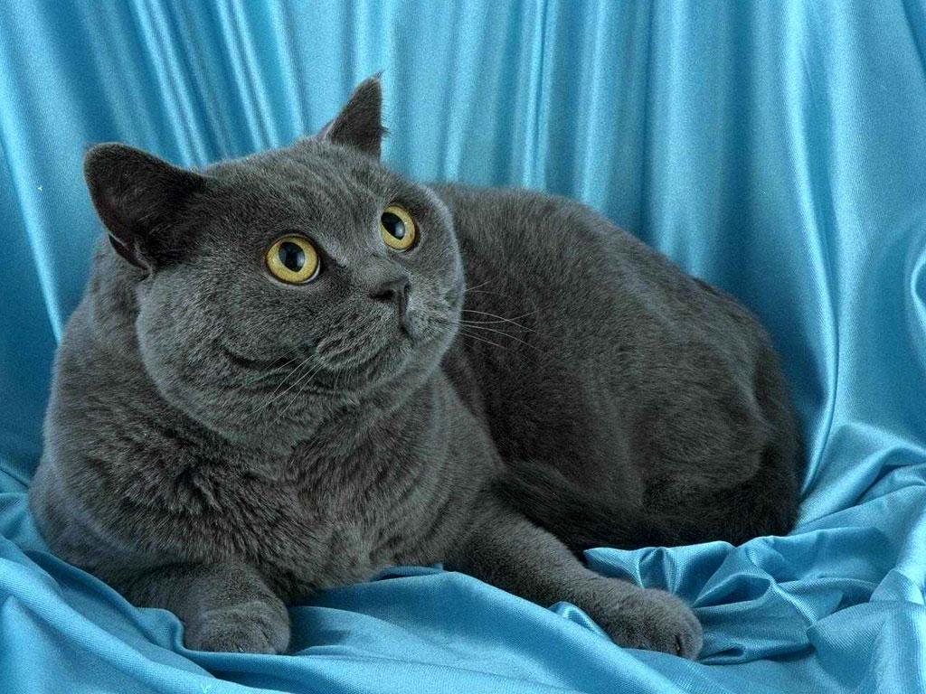 """Британские кошки (фото и видео):""""Первые во всём!""""Сайт 4""""А ...: http://virtput332.blogspot.com/2013/03/blog-post_31.html"""