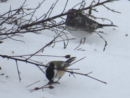 junco and chickadee