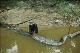The Biggest Anaconda In The World