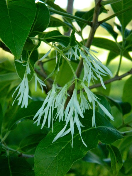 Chionanthus virginicus, Fringe tree