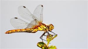 Ruddy Darter