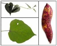 Cara Membuat Obat Tradisional Untuk Penyakit Demam Berdarah
