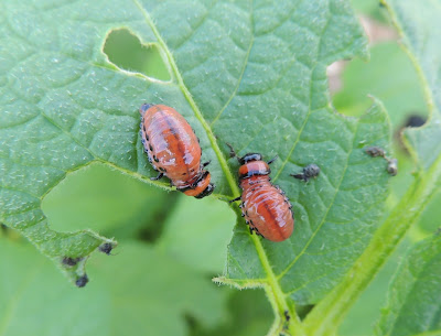 Colorado Potato Beetle