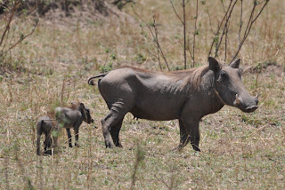 Female Warthog and its babies
