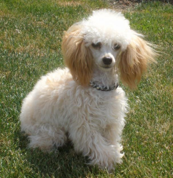 The Poodle also White Poodles Puppies furthermore Choosing Your Poodle Puppy in addition Pomeranian further Puttin On The Ritz Poodles. on tiny toy parti poodles