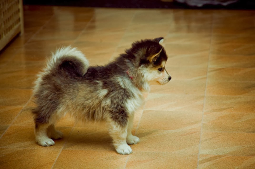 Cute and Adorable Pomsky Puppies, Pomeranian and Husky breeds