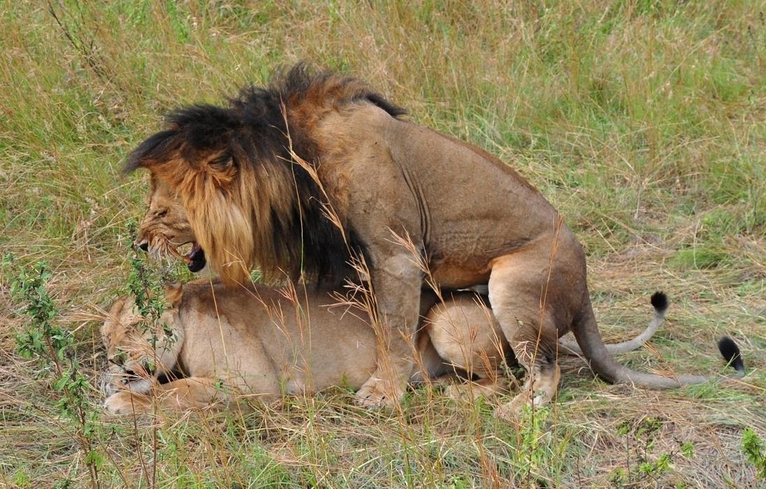 Imagenes de leones imagen leon apareandose - Leones apareamiento ...