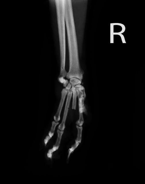extirpación tumor dedo gato