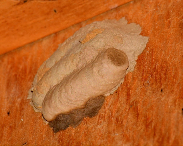 black-and-yellow mud dauber wasp nest