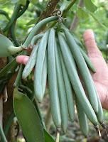 buah vanili