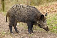 Cerita Nyata Jenazah Berubah Menjadi Babi Hutan