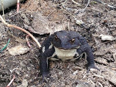 黒い背中のヒキガエル
