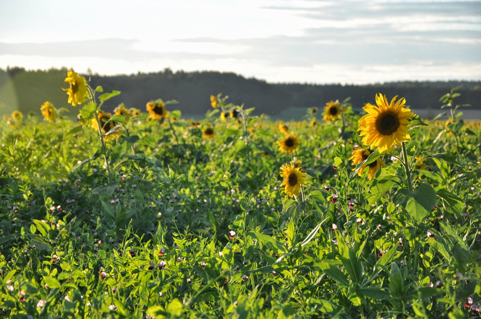 Herbst-Impressionen | Spätsommersonne über dem Sonnenblumenfeld