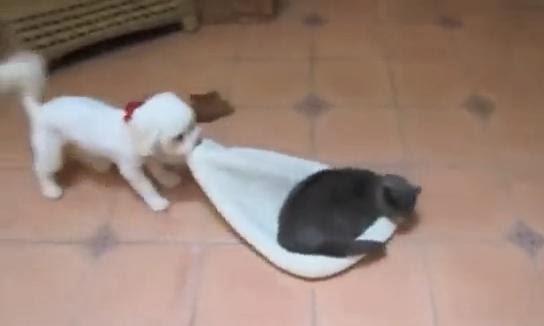 pisica fura culcusul catelului