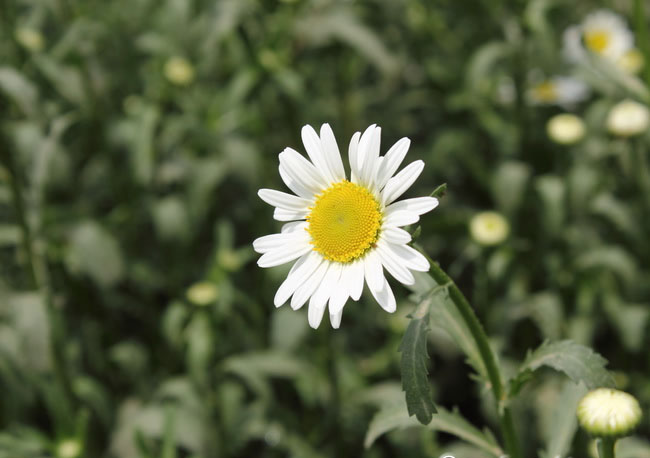 Daisy Flowers Pictures