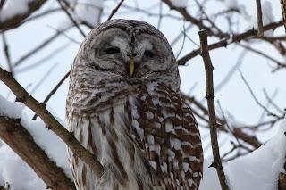 Barred Owl #2