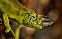 Macro Chameleon Picture and Photo 18