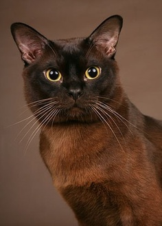 Burmese Cat History with picture