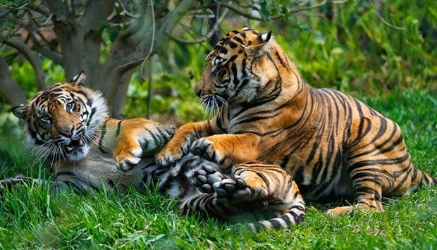 http://dangstars.blogspot.com/2014/06/harga-kandang-harimau-sumatera-ini-rp-225-milliar.html