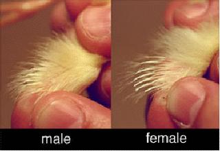 Cara mengetahui jenis kelamin anak ayam metode feather sexing