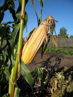 Семенной початок кукурузы