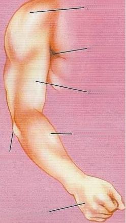 Extremidad superior del cuerpo humano para colocar nombre de sus partes