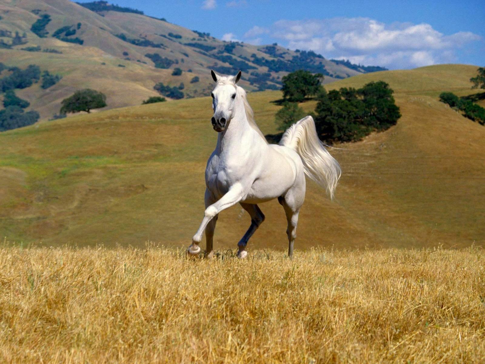 Best   Wallpaper Horse High Definition - Horse%2BHD%2BWallpapers%2B(7)  Photograph_757118.jpg