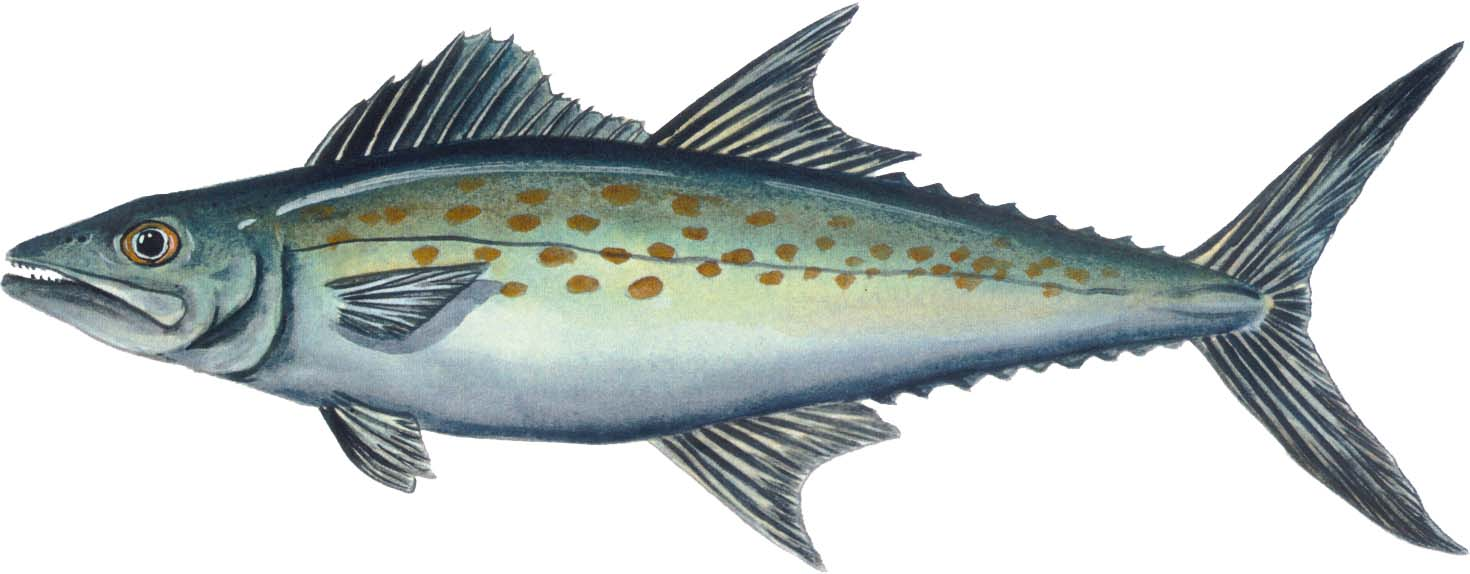 The weekend sportfishermen spanish mackerel a springtime for Spanish mackerel fish