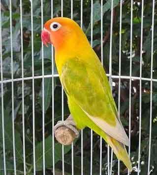 12 aneka jenis burung lovebird dan harga pasarannya
